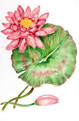 Water color painting of Water Lily