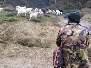 Kazdağı Eteklerinde Çoban ve Keçileri