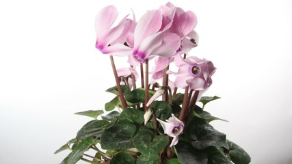 Pink cyclamen isolated timelapse on white background