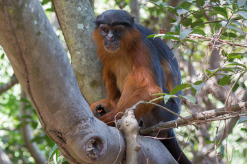 Male Western Red Colobus Monkey
