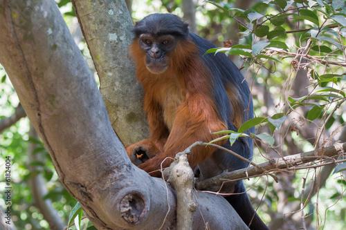 Foto op Canvas Aap Male Western Red Colobus Monkey