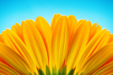 Close-up of yellow gerbera daisy backside isolated on blue