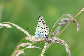 butterfly of Silver-studded Blue on the blade