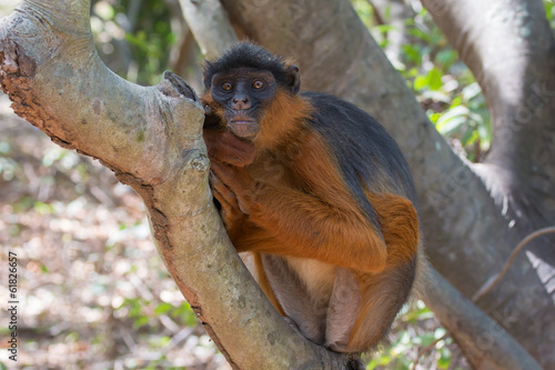 Western Red Colobus Monkey at rest