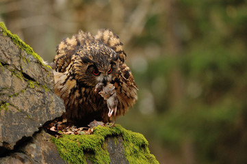 Eurasian Eagle Owl eating mouse