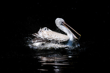 Big swimming white pelican in the drops of water