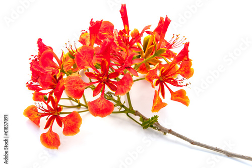bouquet de flamboyant