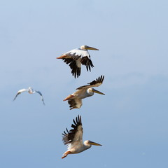 group of pelicans flying over the sky