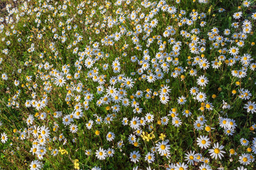 Summer field of forest daisies. Lawn nature.