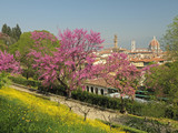 Flowering Judas tree in Florence