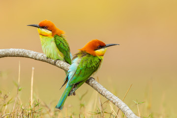 Couple of Portrait Chestnut-headed Bee-eater