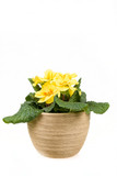 yellow flower primrose in pot