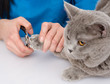 vet cutting cat toenails. isolated on white background