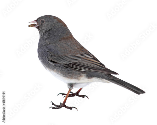 Dark-eyed Junco Eating a Seed