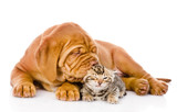 Bordeaux puppy dog kisses bengal kitten. isolated on white