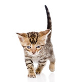 Bengal kitten walking. isolated on white background