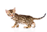 purebred bengal kitten looking away. isolated on white