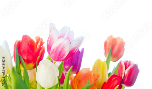 Colorful tulips, isolated on white background