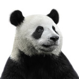 Panda bear isolated on white background