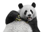 Panda bear isolated on white background