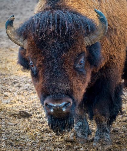 Keuken foto achterwand Bison Portret Bizona