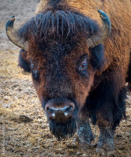 Poster Bison Portret Bizona