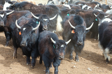Yak pastures of Mongolia