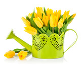 Bunch yellow tulips in watering can. Isolated on white