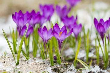 Beautiful violet crocuses