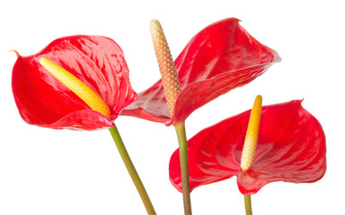 Anthurium  on a white background