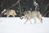 Two wolves in the Snow