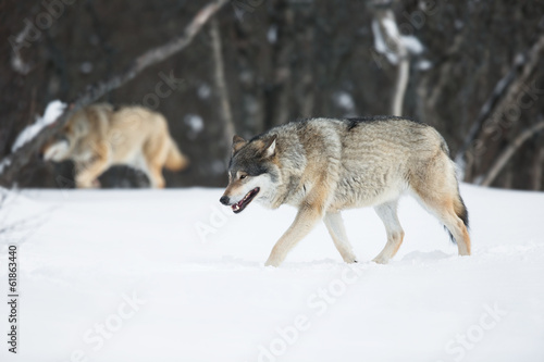 canvas print picture Two wolves in the Snow