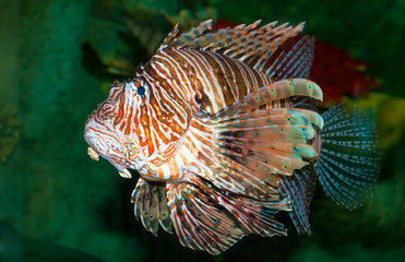 Lionfish swimming in the sea