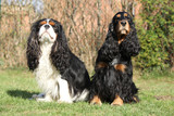 Cavalier King Charles Spaniel with English Cocker Spaniel in the