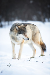 One Wolf in the winter