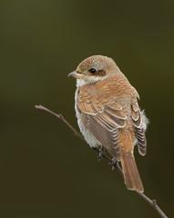 Juvenile Red Backed Shrike