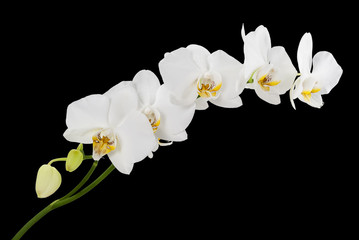 White orchids with yellow middles isolated on black