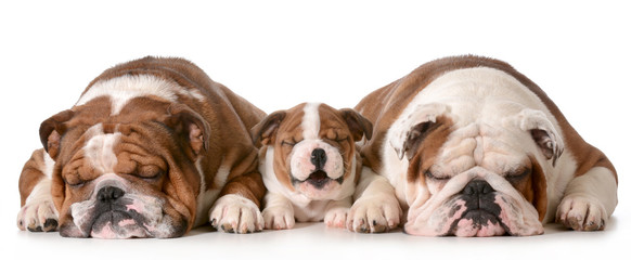 three bulldogs