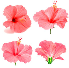Pink hibiscus collection