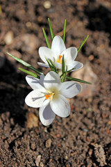 White crocus flowers in the garden