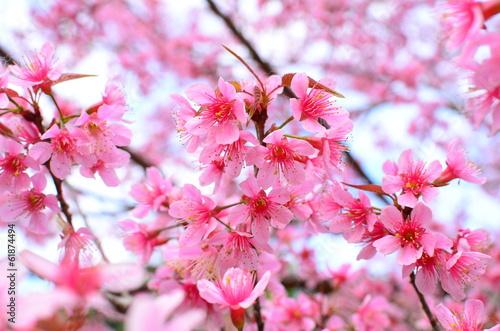 Foto op Plexiglas Kersen Spring Cherry Blossom