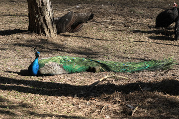 Lying peacock