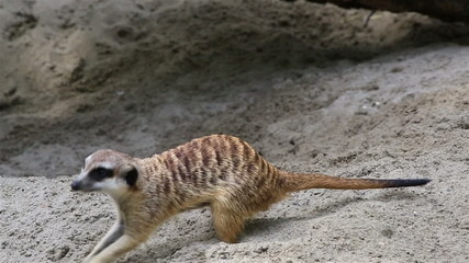 Adult meerkat digging sand (looking for treasure).