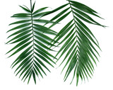 Fototapety Green leaves  of palm tree (Howea) isolated on white