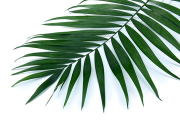 Green leaf  of palm tree (Howea) isolated on white