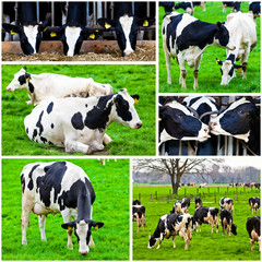 cows in a farm.  Cows on meadow.Grazing calves