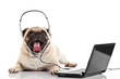 call center agent.  pug dog telephone operator