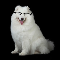 Samoyed dog  wiht glasses