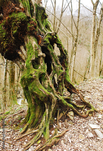 Twisted Mossy Tree