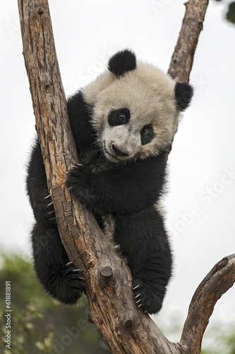 Fotobehang Panda Giant Baby Panda Climbing on a Tree